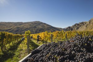 Mt_Rosa_vineyard_harvest_med-1